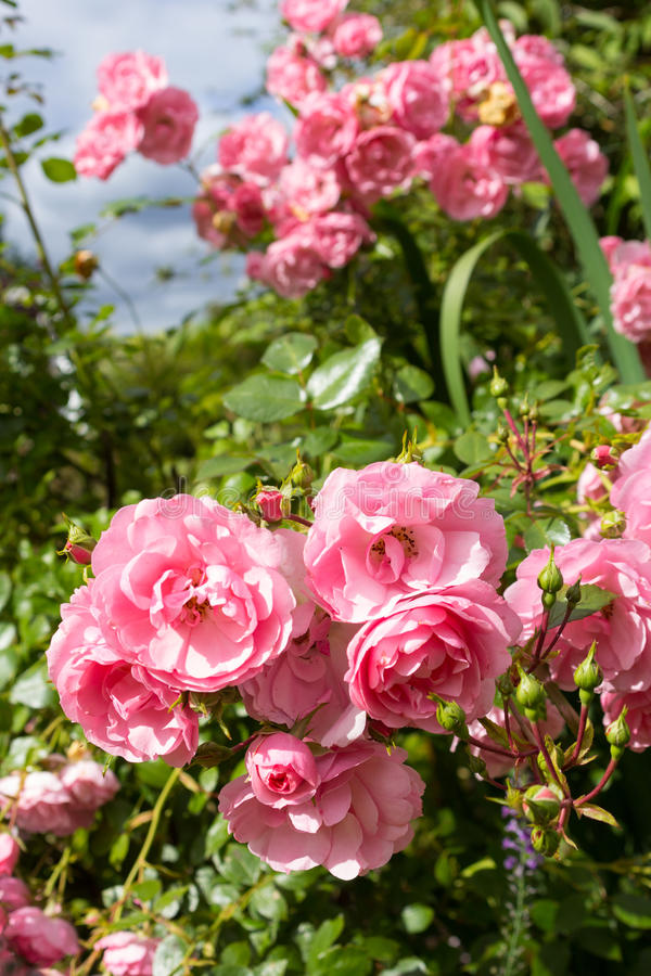 Luz bonita - jardim de rosas cor-de-rosa fotografia de stock royalty free