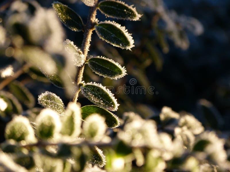 A luz brilha através das folhas congeladas foto de stock royalty free