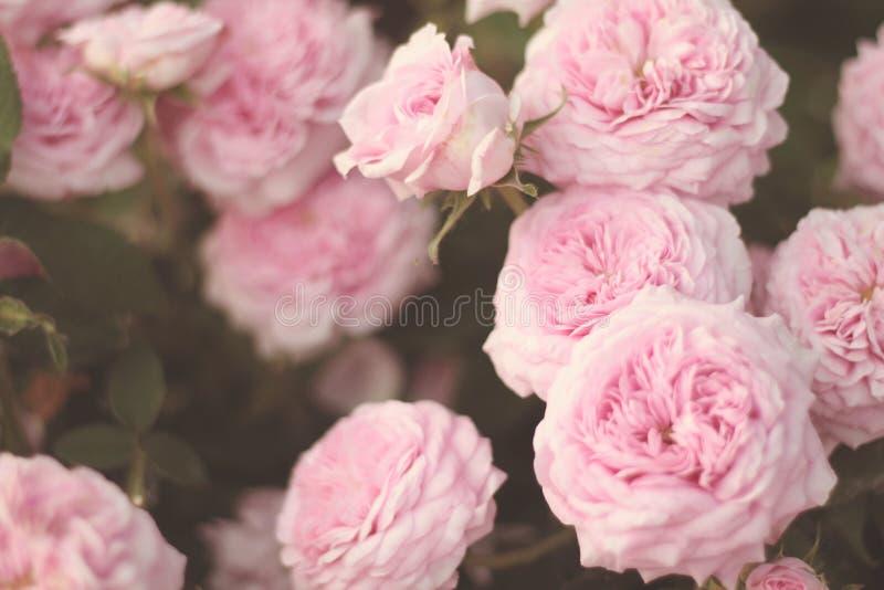 Luz - close up cor-de-rosa das rosas fotografia de stock royalty free