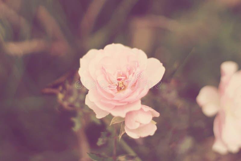 Luz - a cor-de-rosa levantou-se fotografia de stock royalty free