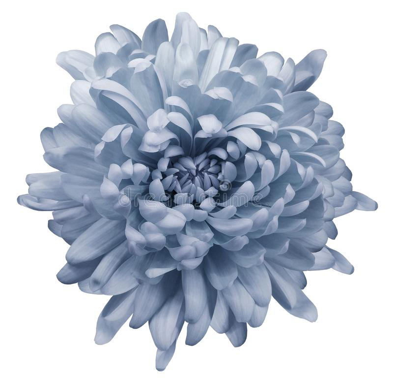 Luz - crisântemo azul Floresça em um fundo isolado branco com trajeto de grampeamento Close-up Nenhumas sombras foto de stock