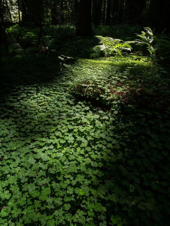 Luz da manhã, floresta da sequoia vermelha de Califórnia imagem de stock royalty free