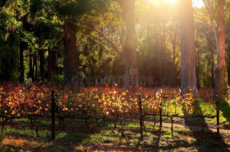 Download Luz da manhã nos vinhedos imagem de stock. Imagem de curso - 31384969