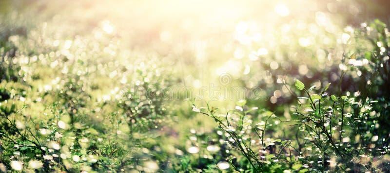 Luz de Bokeh do sol através das folhas no fundo do sumário do verde do borrão da floresta bandeira Natureza selvagem imagem de stock royalty free
