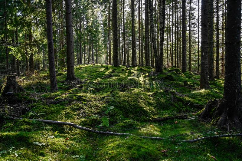Luz de fondo a través de bosque sudoroso en Varmland Suecia imagen de archivo