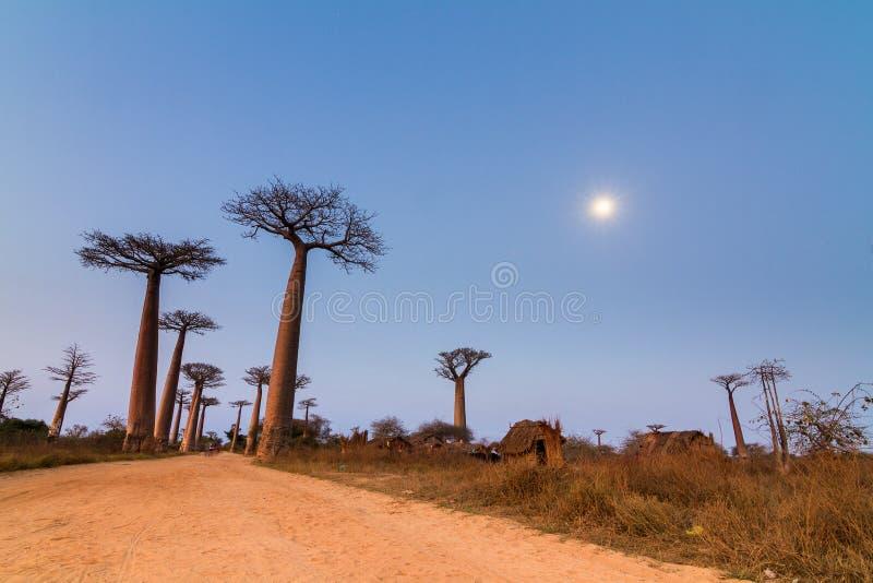 Luz de luna del callejón de Boabab fotografía de archivo