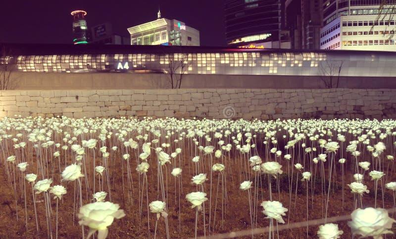Luz de Rose en Corea fotos de archivo libres de regalías