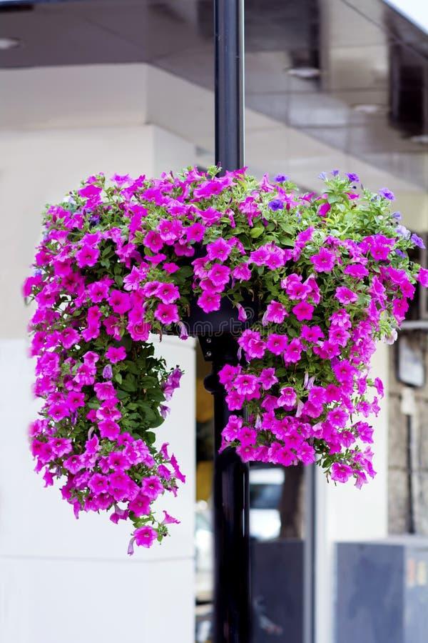 Luz de rua com as cestas de suspensão coloridas da flor do petúnia fotografia de stock