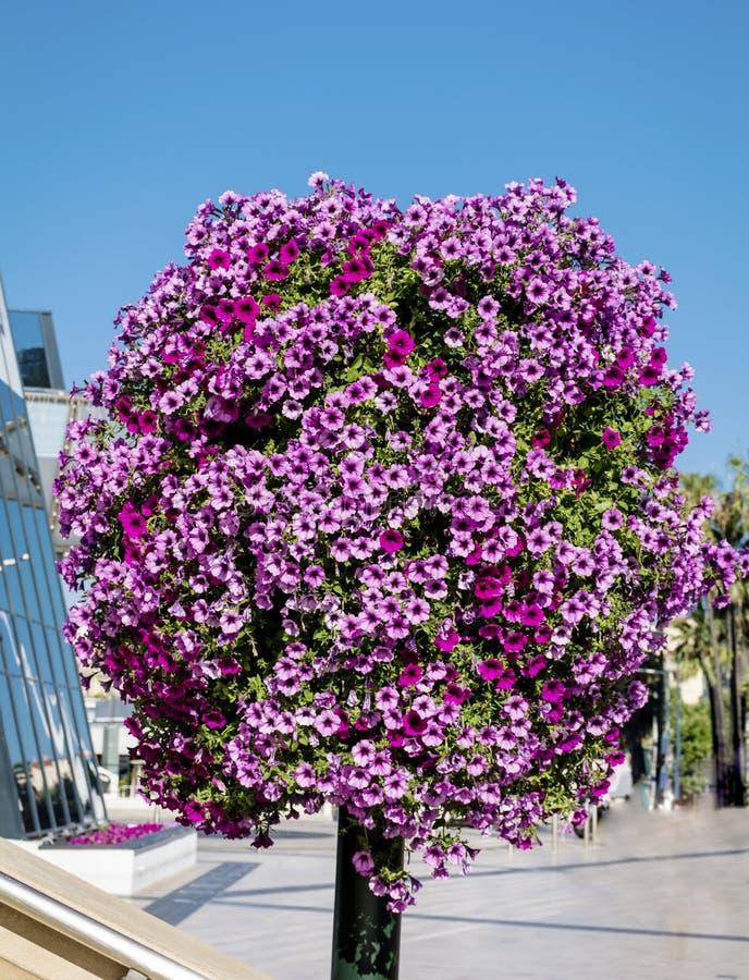 Luz de rua com as cestas de suspensão coloridas da flor do petúnia foto de stock royalty free