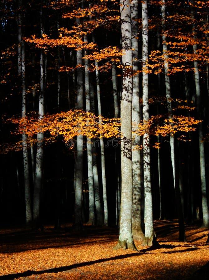 Luz de Sun com sombras na floresta outonal imagem de stock royalty free