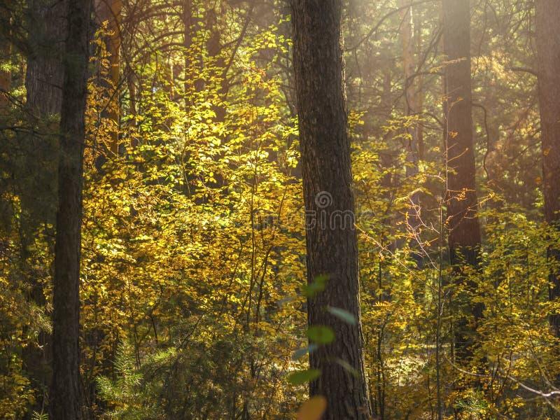 Luz del concepto de la esperanza: Las hojas que brillan intensamente en luz del sol en una fantasía misteriosa oscura Forest Autu imagen de archivo