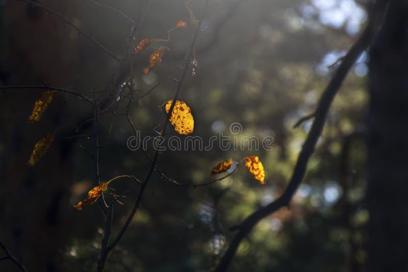 Luz del concepto de la esperanza: Las hojas que brillan intensamente en luz del sol en una fantasía misteriosa oscura Forest Autu fotos de archivo