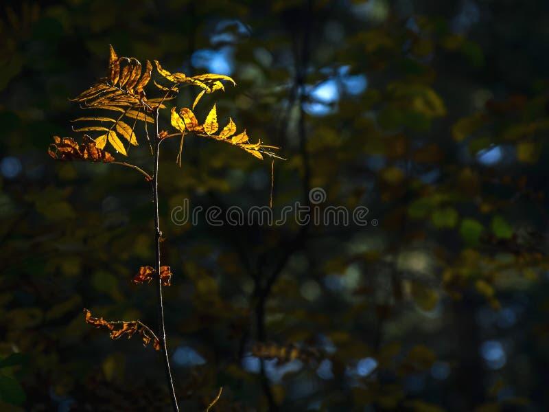 Luz del concepto de la esperanza: Las hojas que brillan intensamente en luz del sol en una fantasía misteriosa oscura Forest Autu foto de archivo