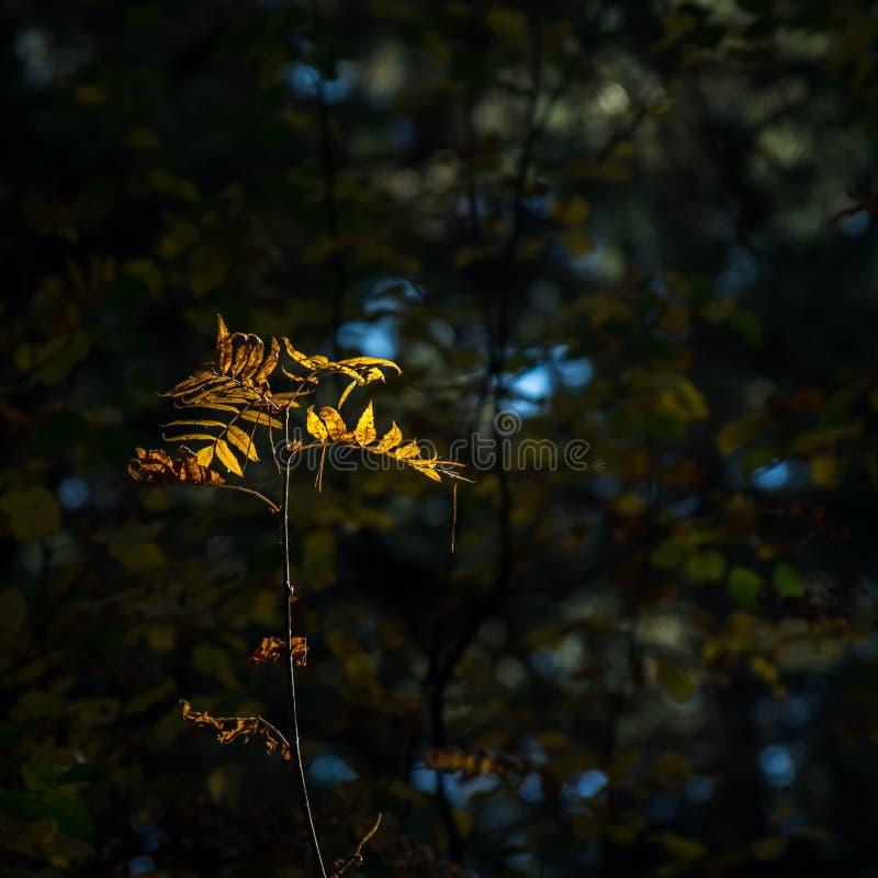 Luz del concepto de la esperanza: Las hojas que brillan intensamente en luz del sol en una fantasía misteriosa oscura Forest Autu imagen de archivo libre de regalías