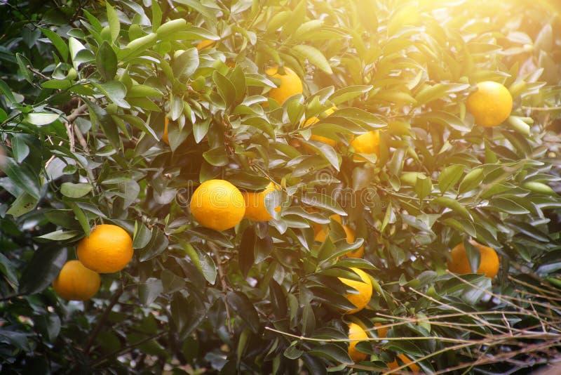 Luz del sol del ?rbol anaranjado imagen de archivo