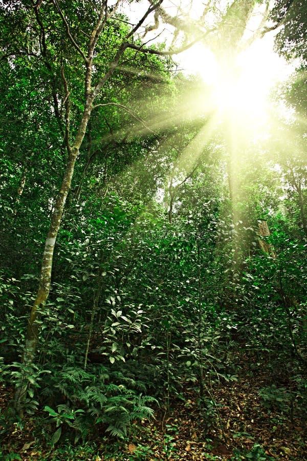 Luz del sol en bosque de la selva fotografía de archivo