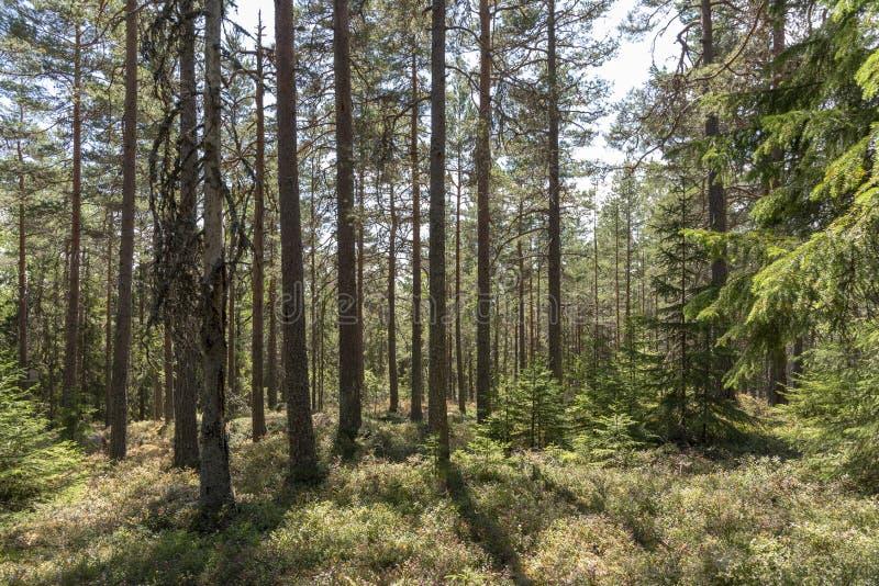 Luz del sol en bosque del pino en Suecia fotos de archivo libres de regalías