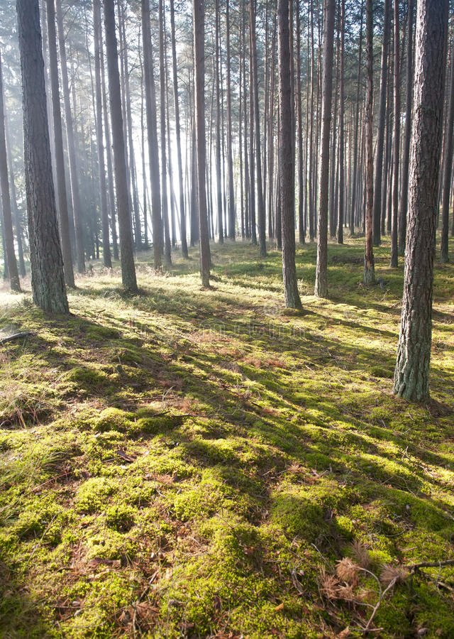 Luz del sol en el bosque fotos de archivo