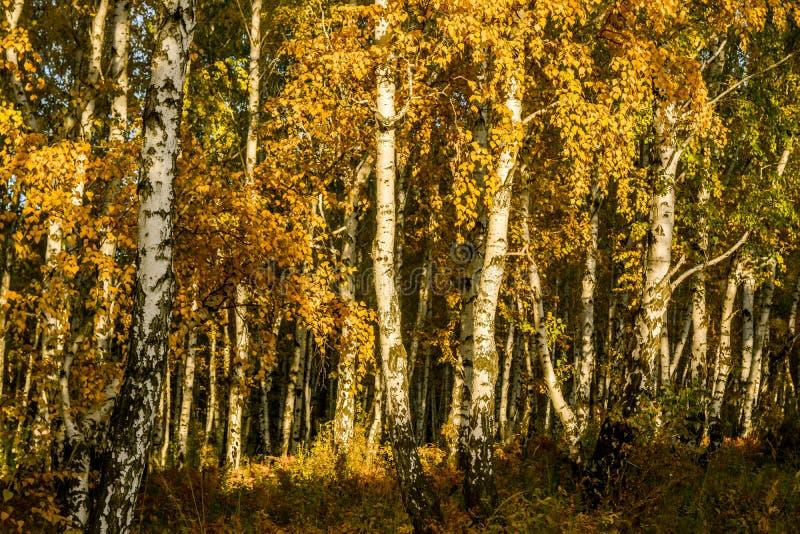 Luz del sol en el bosque del abedul antes de la puesta del sol fotos de archivo