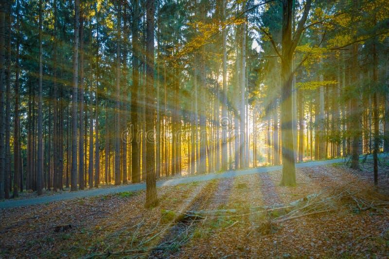 Luz del sol en el bosque conífero fotografía de archivo libre de regalías