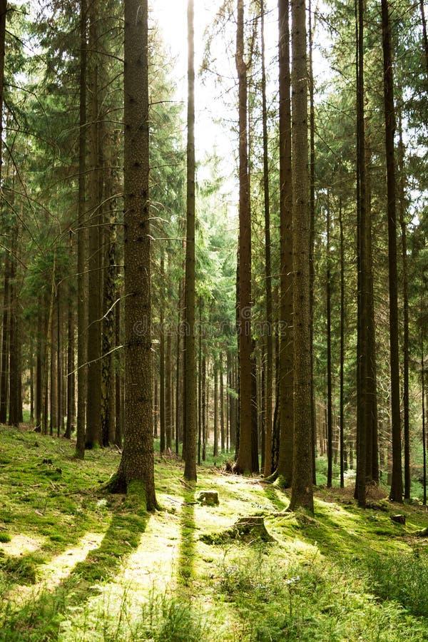 Luz del sol en el bosque conífero imagen de archivo