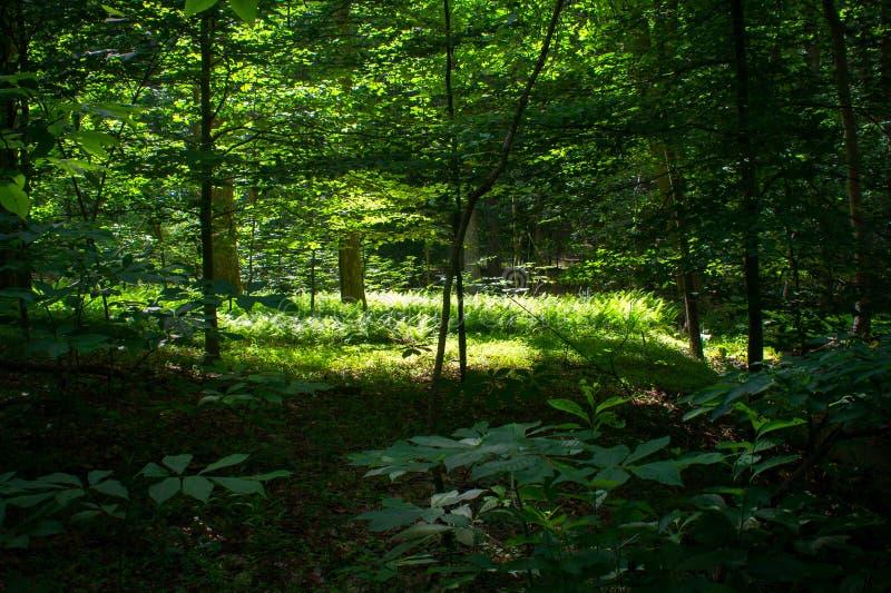 Luz del sol filtrada en bosque enorme imagen de archivo libre de regalías