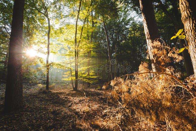 Luz del sol que viene con la iluminación del bosque encima de ramas anaranjadas en el primero plano que da una sensación del devi imagen de archivo