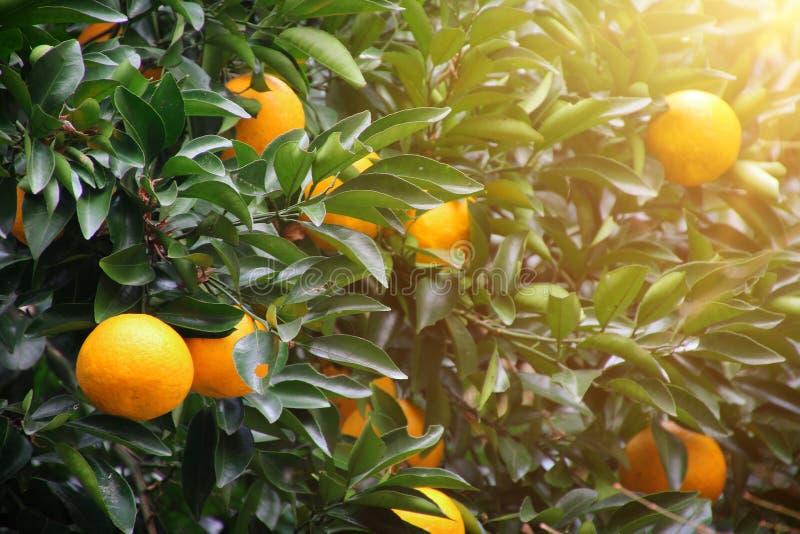 Luz del sol del ?rbol anaranjado imagen de archivo libre de regalías