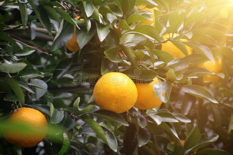 Luz del sol del ?rbol anaranjado fotos de archivo