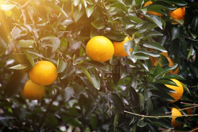 Luz del sol del ?rbol anaranjado fotografía de archivo