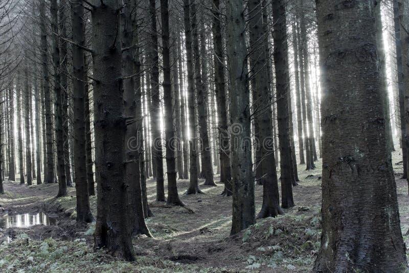 Luz del sol a través de árboles fantasmagóricos fotografía de archivo libre de regalías
