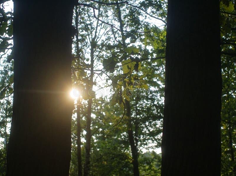 Luz del sol a través de las hojas del roble en verano foto de archivo