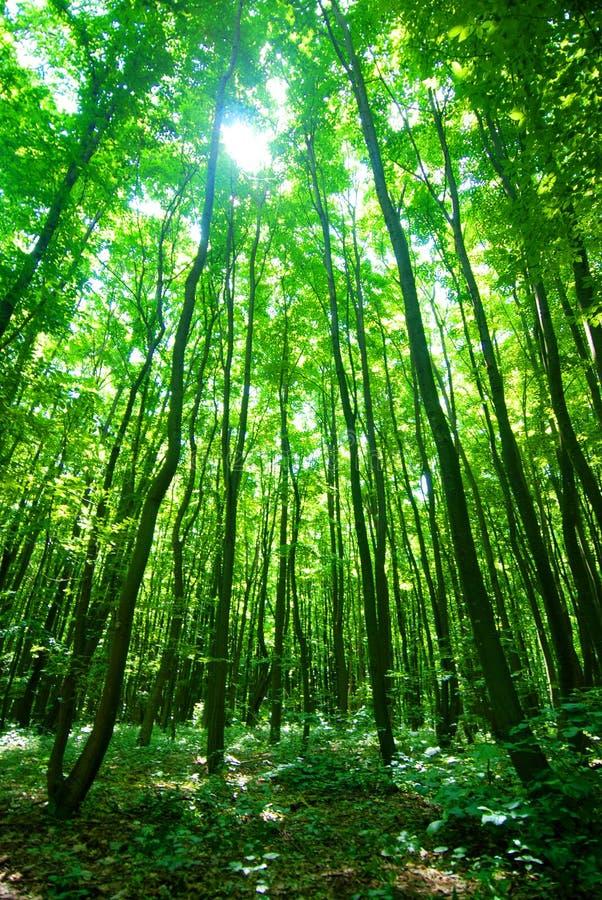 Luz del sol a través del bosque imagen de archivo