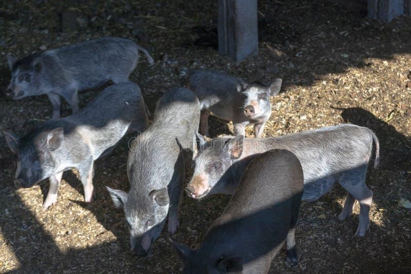 Luz do dia agricultura um porco novo experiente come o alimento estão na pena imagens de stock royalty free
