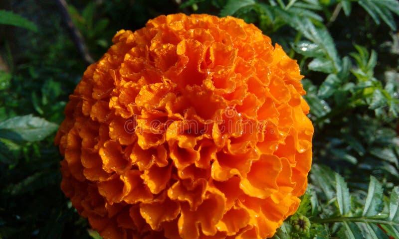 Luz do dia da laranja da flor foto de stock