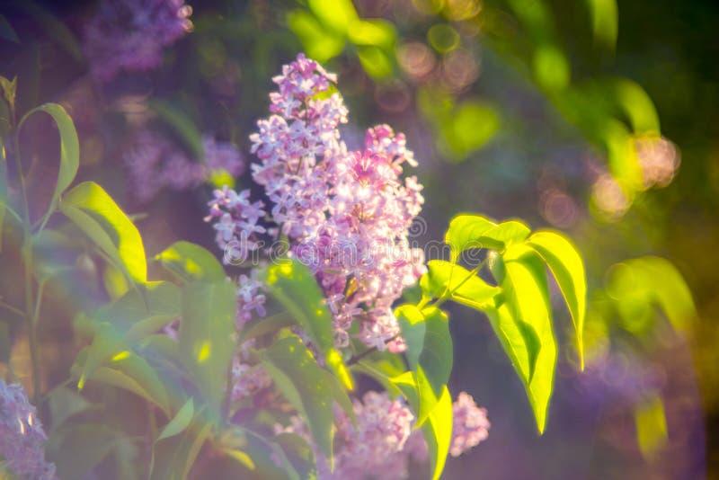 Luz do lilás e do sol fotos de stock royalty free