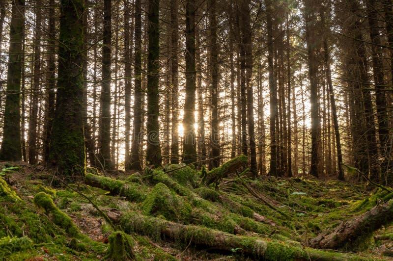 A luz do por do sol no musgo cobriu a floresta 2 foto de stock