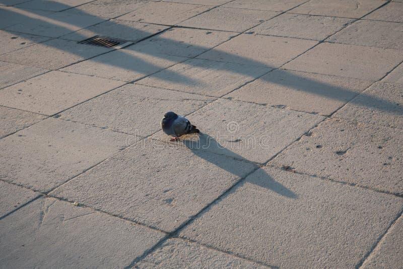 Luz do por do sol do sono do pássaro da pomba imagens de stock