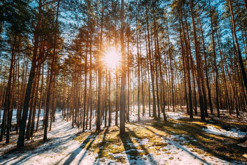 A luz do sol bonita de Sun do por do sol em raios de Sun da luz solar de Sunny Early Spring Coniferous Forest brilha através das  fotografia de stock royalty free
