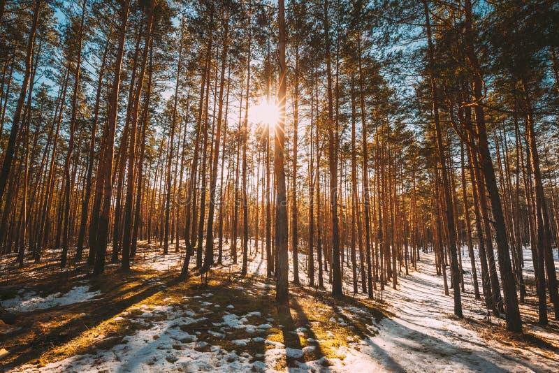 A luz do sol bonita de Sun do por do sol em raios de Sun da luz solar de Sunny Early Spring Coniferous Forest brilha através das  fotos de stock