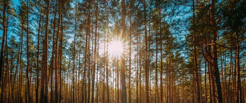 A luz do sol bonita de Sun do por do sol em raios de Sunny Spring Coniferous Forest Sunlight Sun brilha através das madeiras de p fotos de stock