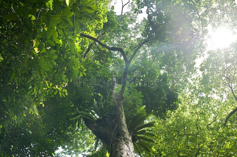 Luz do sol bonita na manhã em uma árvore grande foto de stock royalty free