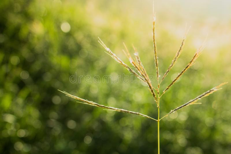 luz do sol do borrão da flor da grama do close-up no fundo natural, fundo da natureza imagens de stock