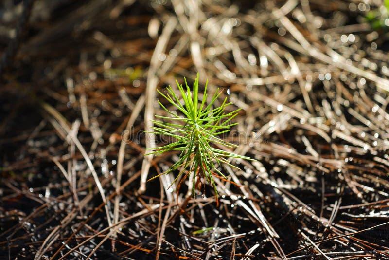 Luz do sol da manhã no pinheiro imagens de stock royalty free