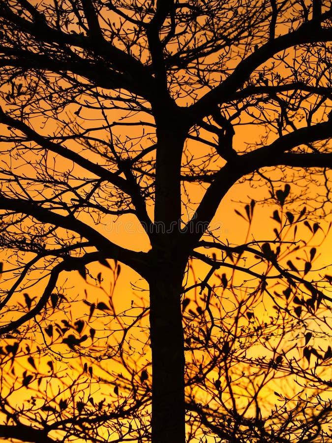 Luz do sol dourada e silhueta bonita da árvore fotografia de stock royalty free