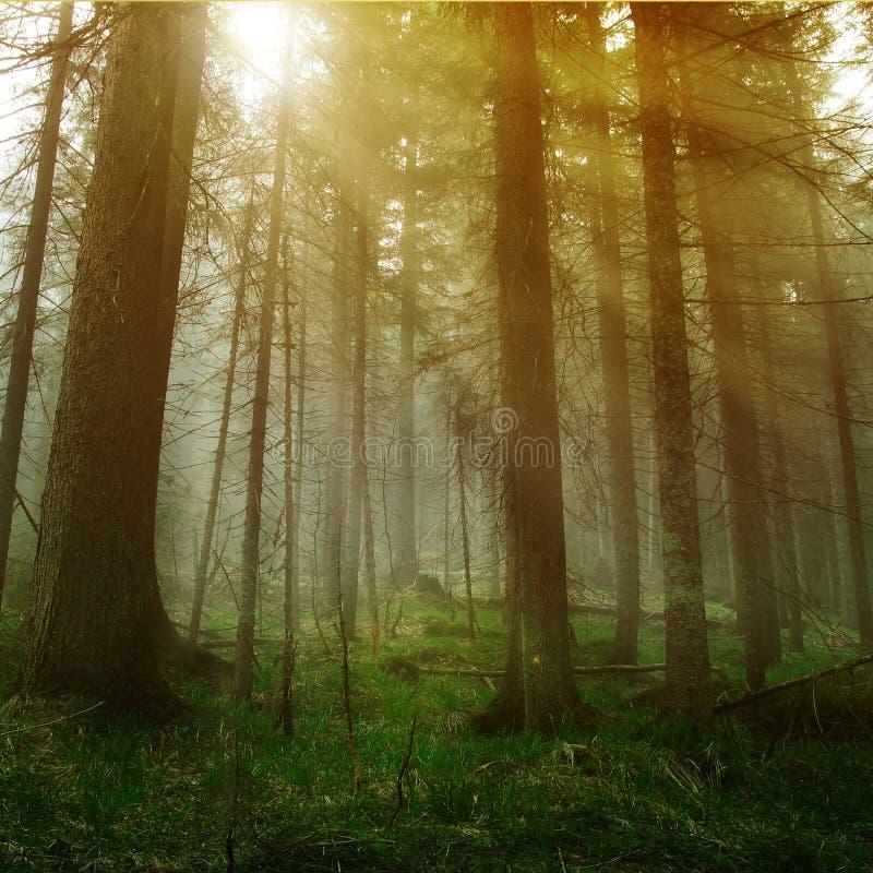 Luz do sol na floresta foto de stock royalty free