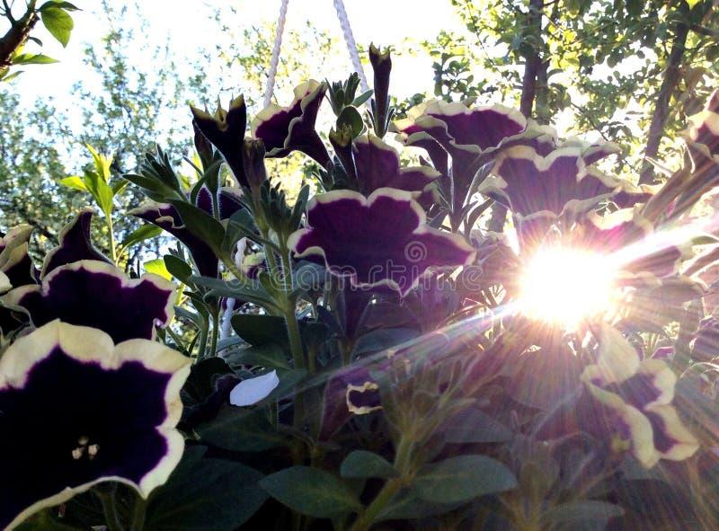 Luz do sol nas flores fotografia de stock royalty free