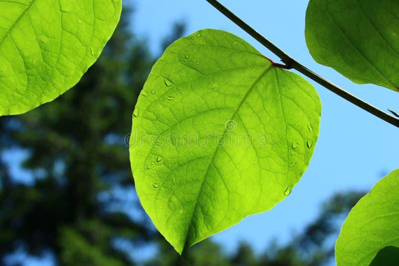 Luz do sol nas folhas verdes em um ramo fotos de stock royalty free