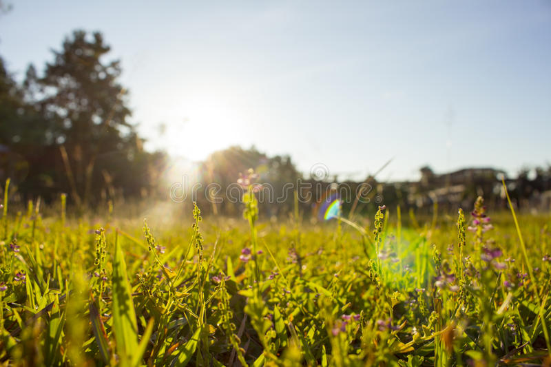 Luz do sol roxa do sumário da flor da grama borrada foto de stock royalty free