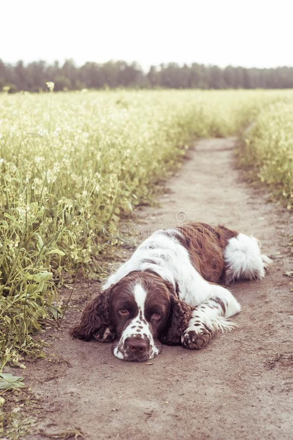 Luz do spaniel de Springer inglês da raça do cão no campo de flores selvagens fotos de stock royalty free